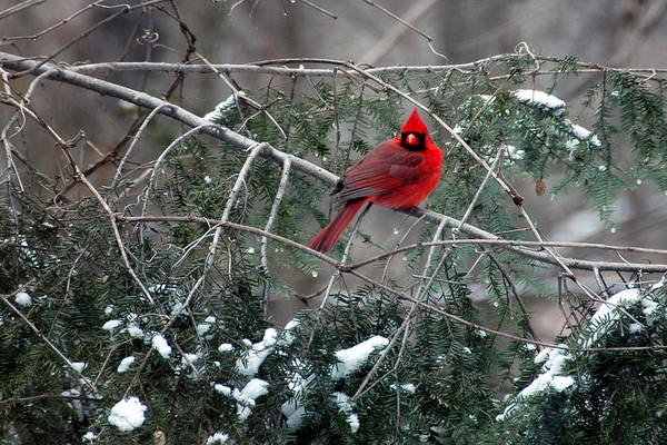 Photograph - Winter Cardinal by John Kiss