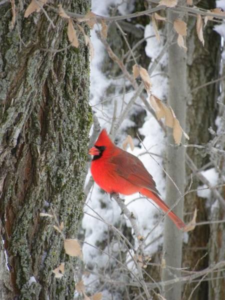 Photograph - Winter Cardinal by Peggy  McDonald