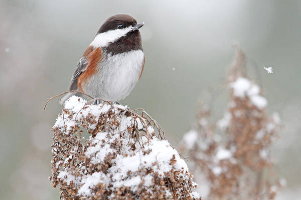 Photograph - Winter Chickadee by Peggy Collins