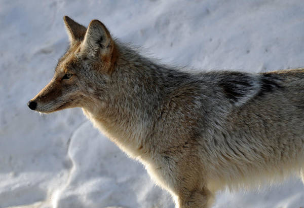 Photograph - Winter Coyote In Yellowstone by Bruce Gourley