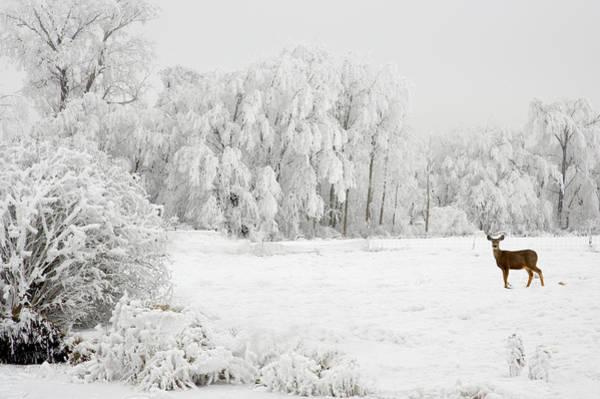 Photograph - Winter Doe by Mary Jo Allen