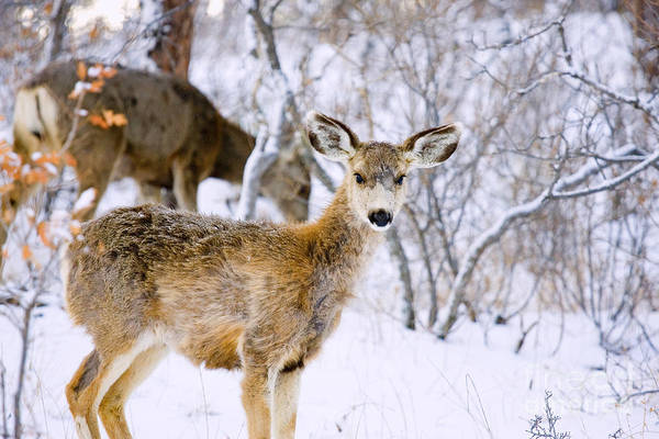 Photograph - Winter Does by Steve Krull