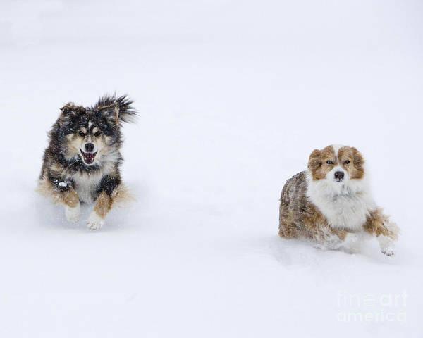 Dog Walker Photograph - Winter Dogs Run by Carol Walker