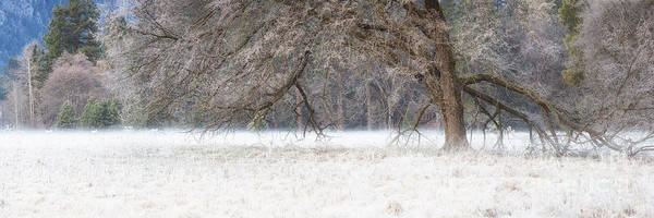 Photograph - Winter Elm by Anthony Bonafede