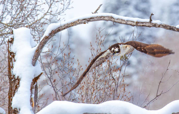 Photograph - Winter Flight by Kevin  Dietrich