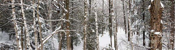 White Birch Trees Wall Art - Photograph - Winter Forest Landscape Panorama by Elena Elisseeva