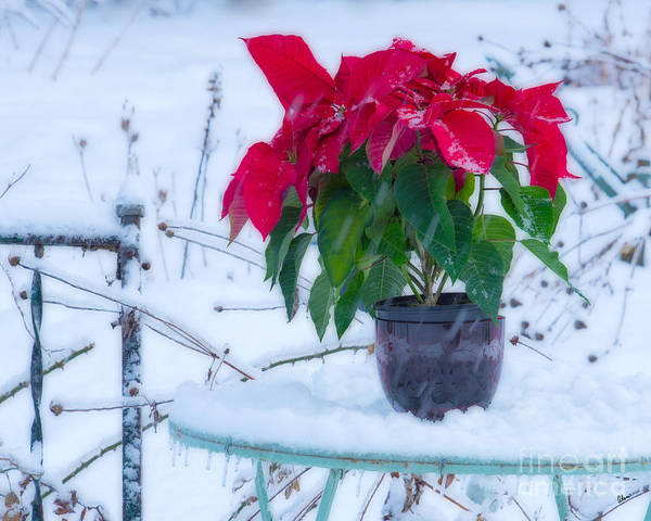 Photograph - Poinsettia In The Snow by Alana Ranney