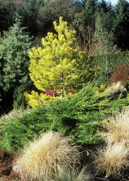 Juniper Photograph - Winter Garden Border by Geoff Kidd/science Photo Library