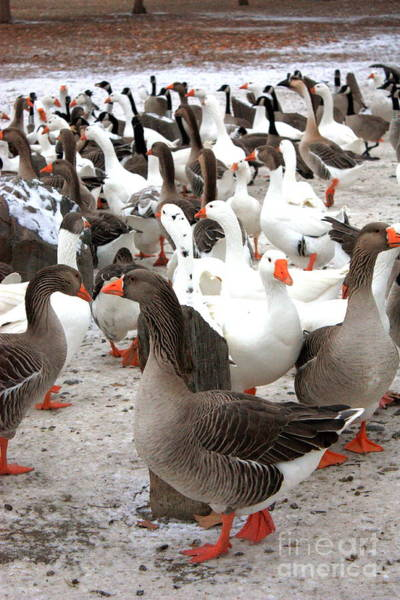 Photograph - Winter Geese In Columbia Park by Carol Groenen