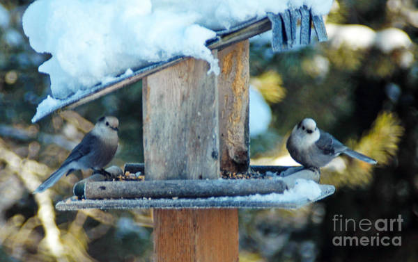 Photograph - 603p Winter Gray Jays by NightVisions