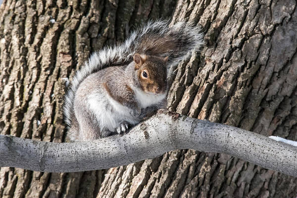Grey Squirrel Photograph - Winter Grey Squirrel On A Branch by Pierre Leclerc Photography