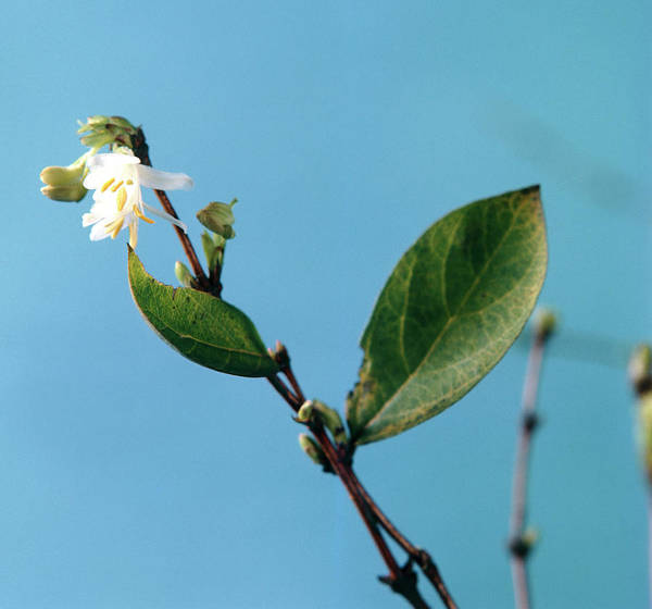 Lonicera Photograph - Winter Honeysuckle Flowers by Science Photo Library