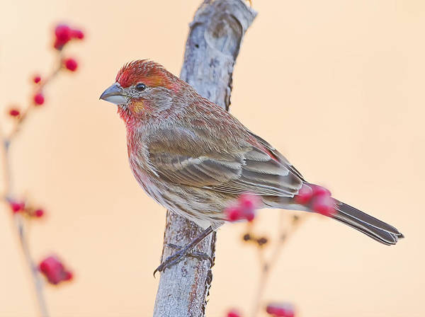 Photograph - Winter House Finch by John Vose