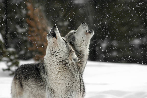 Photograph - Winter Howl by Wes and Dotty Weber