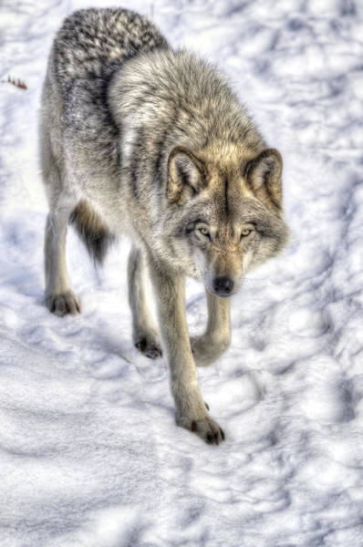 Timberwolves Photograph - Winter Hunter by Joshua McCullough