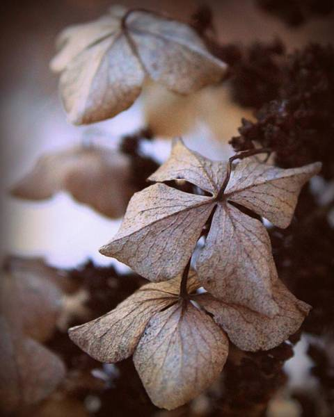 Harrisburg Pa Photograph - Winter Hydrangea by Joseph Skompski
