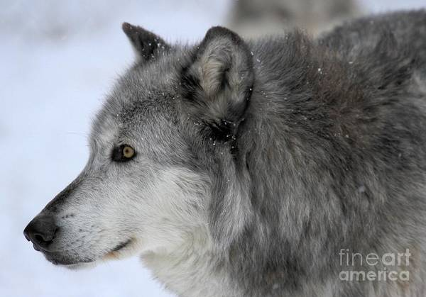 Photograph - Winter Intensity by Adam Jewell