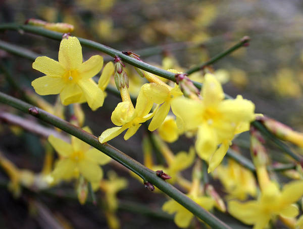Photograph - Winter Jasmine by Gerry Bates