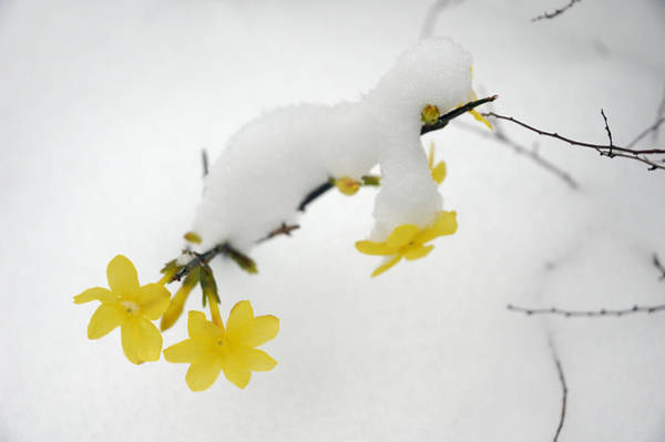 Photograph - Winter Jasmine Jasminum Nudiflorum by Matthias Hauser