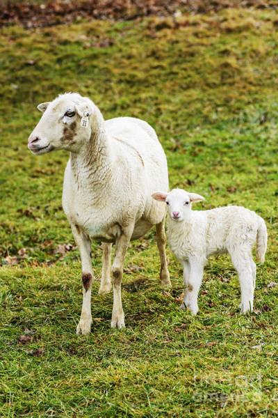 Photograph - Winter Lamb And Ewe by Thomas R Fletcher