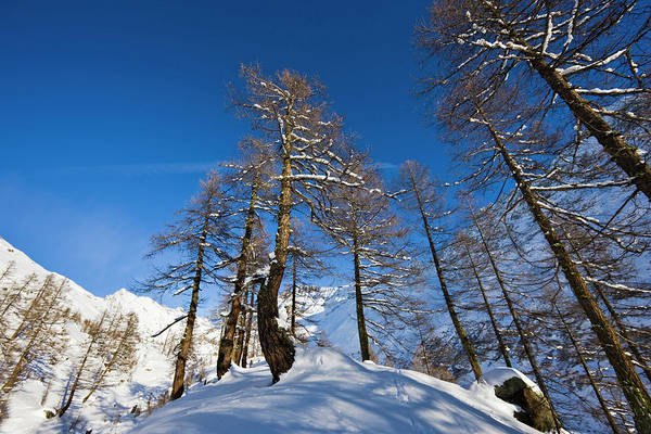 Conifer Photograph - Winter Landscape With Larch Tree Forest by Martin Zwick