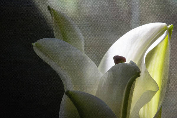 Filoli Photograph - Winter Lily by Linda Dunn