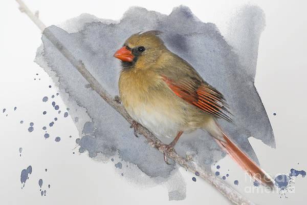 Wall Art - Photograph - Winter Northern Cardinal by Betty LaRue