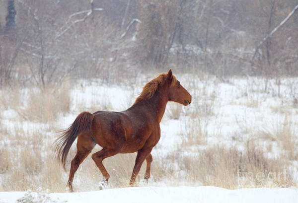 Prancing Horse Photograph - Winter Proud by Mike  Dawson