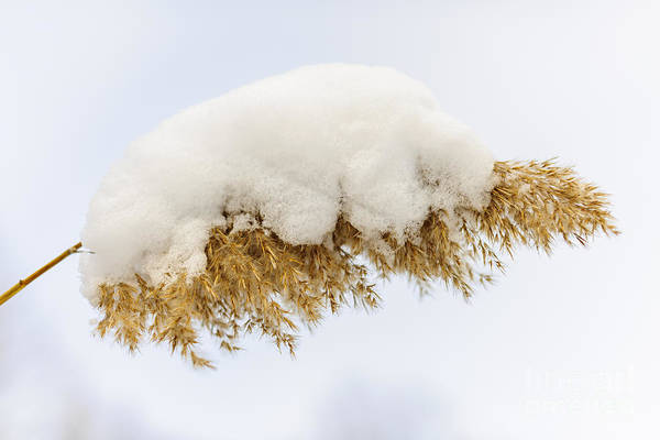 Fuzzy Photograph - Winter Reed Under Snow by Elena Elisseeva