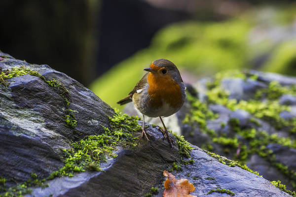 Red Robin Photograph - Winter Robin by Ian Mitchell