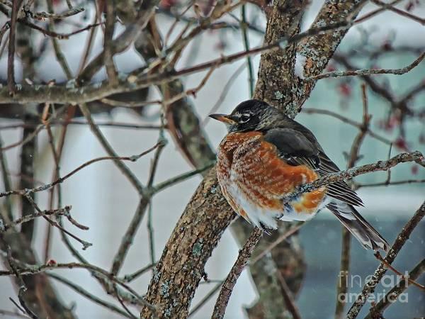 Duck Meat Photograph - Winter Robin by Marcia Lee Jones