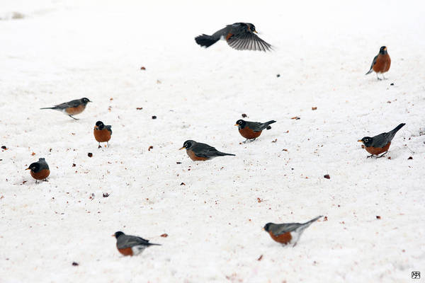 Photograph - Winter Robins by John Meader