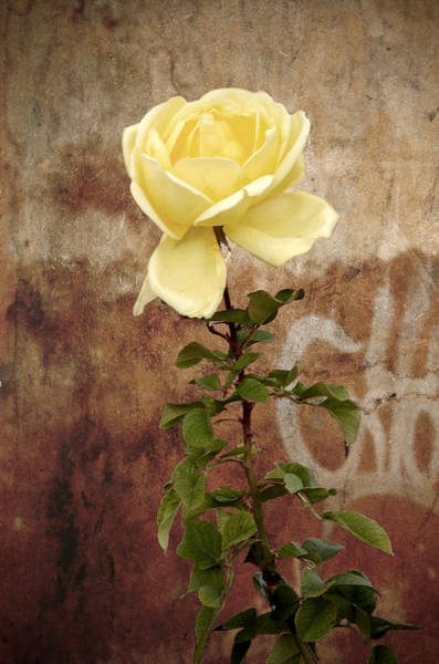 Photograph - Winter Rose by RicardMN Photography