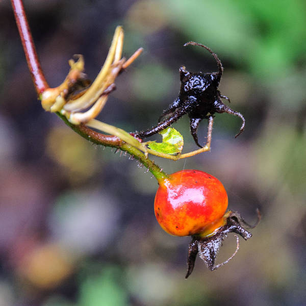Photograph - Winter Signal Rose Hip by Roxy Hurtubise