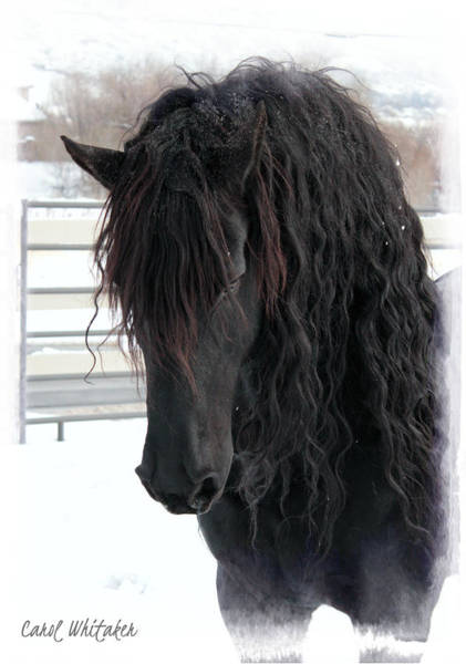 Photograph - Winter Stallion by Carol Whitaker
