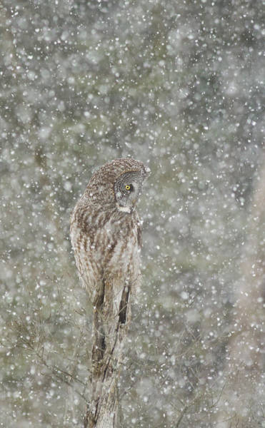 Wing Back Photograph - Winter Storm by Mircea Costina Photography