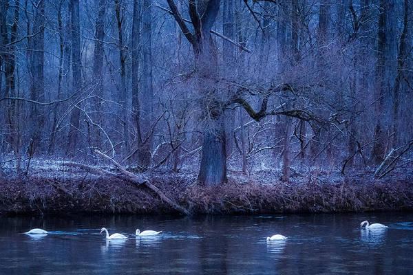 Photograph - Winter Swans by Alexander Kunz