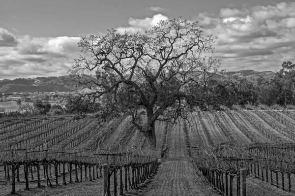 Photograph - Winter Vineyard by Bill Dodsworth