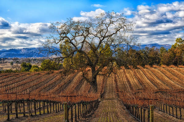 Photograph - Winter Vineyards Paso Robles by Bill Dodsworth