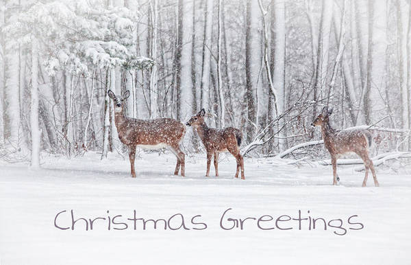 White Tailed Deer Photograph - Winter Visits Card by Karol Livote