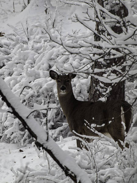 Wall Art - Photograph - Winter Whitetail 1 by Thomas Young