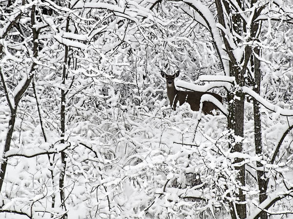 Wall Art - Photograph - Winter Whitetail 2 by Thomas Young