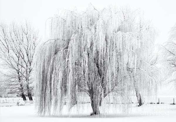 Ice Photograph - Winter Willow by Mike  Dawson