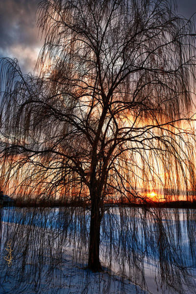 Photograph - Winter Willow by Renee Sullivan