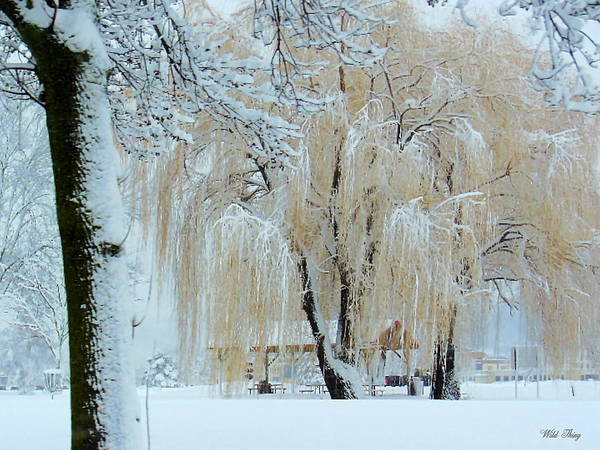 Photograph - Winter Willow by Wild Thing