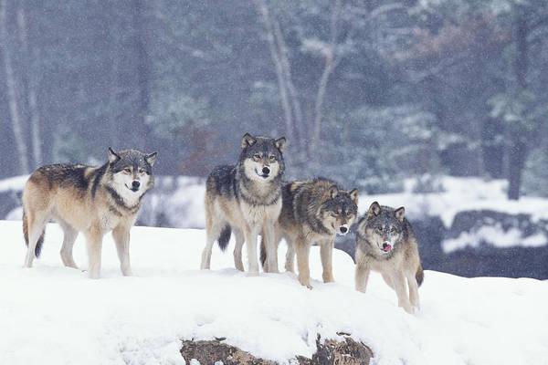 Photograph - Winter Wolf Pack by D Robert Franz