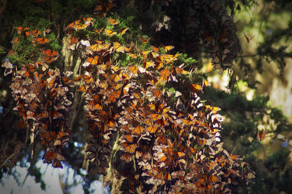 Wall Art - Photograph - Wintering Monarchs In Pacific Grove California by Mary Lee Dereske