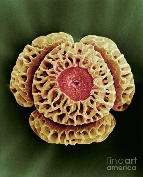 Photograph - Winters Bark Drimys Winteri Pollen,sem by R E Litchfield