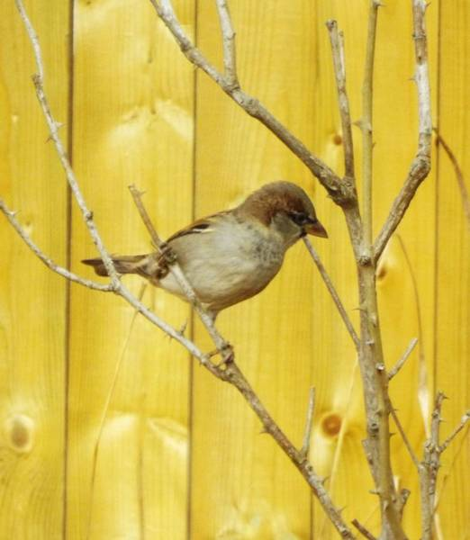 Wall Art - Photograph - Winters End The Sparrows Branch  by Lisa Roy