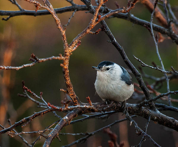 Sitta Carolinensis Photograph - Winter's Glow Nuthatch by Lara Ellis